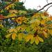 Japanese horse-chestnut leaves (Aesculus turbinata, トチノキ)