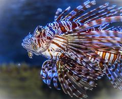 Lionfish (Pterois )