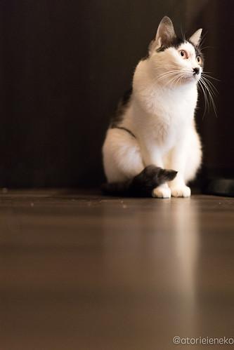 アトリエイエネコ Cat Photographer 24184808348_5bf4ff3c60 猫café calm