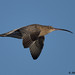 curlew 10 2017 in flight