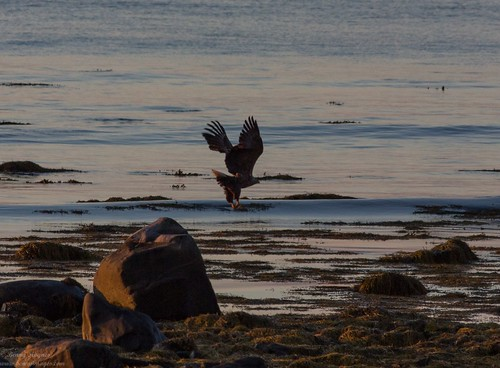 Sea eagle! The Island of the Midnight Sun. Photographer Benny Høynes