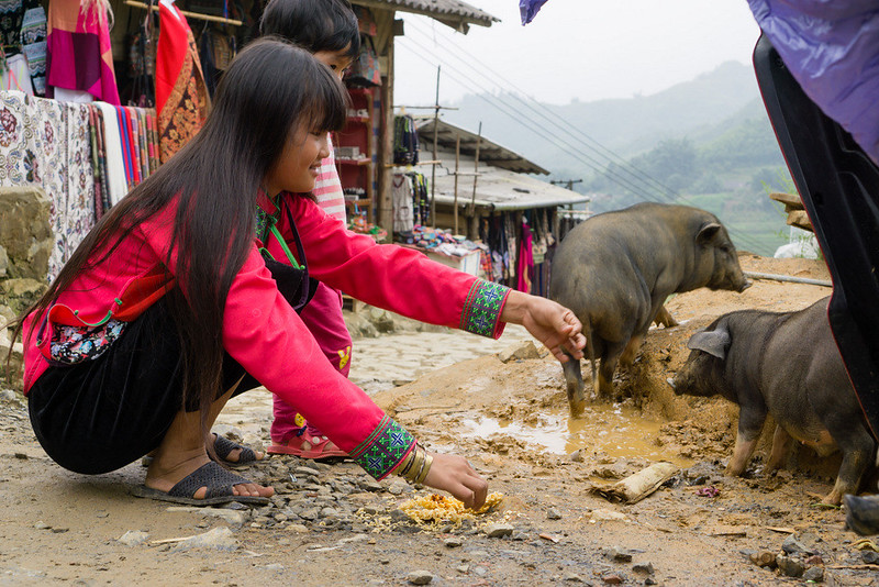 Sapa, Cat Cat Village - pigs