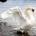 Glorious Swan of the Lake