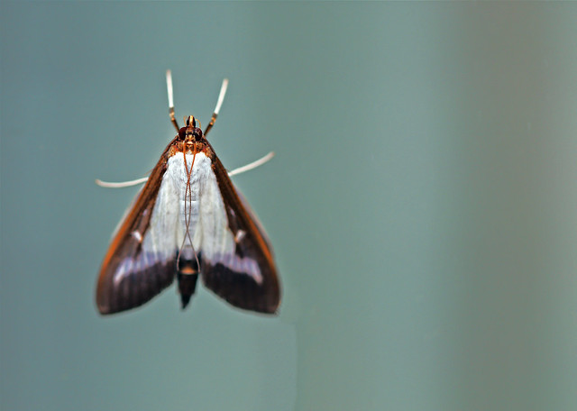 Box tree Moth, Upper Side