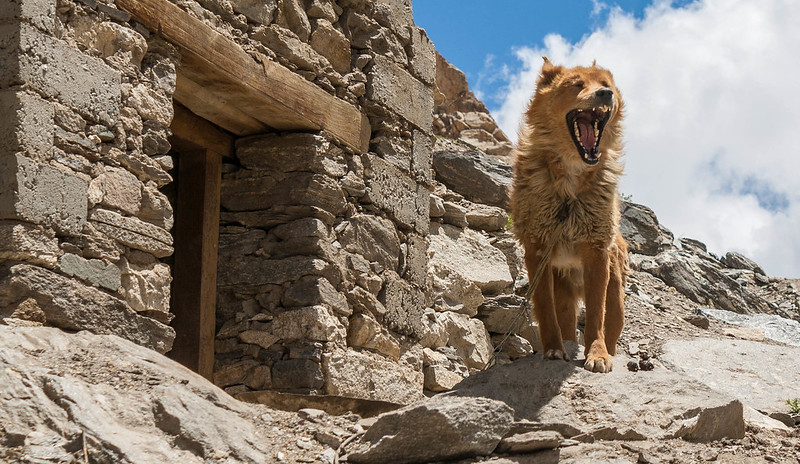 The Lion King....Ladakhi Dog at Zongkul Gonpa