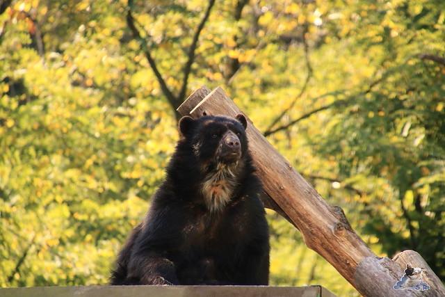 Eisbär Fiete im Sosto Zoo 01.10.2017 083
