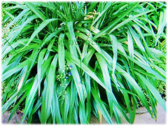 Captivating sword-shaped green foliage of Dianella ensifolia (Umbrella Dracaena, Flax Lily, Common Dianella, Sword-leaf Dracaena, Cerulean Flax-lily, Siak-Siak in Malay), 6 Oct 2017