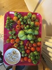 My Garden 17-10-03 Tomatoes