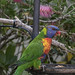 Rainbow Lorikeet at the feeder