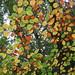 UK - Hertfordshire - Near Aldbury - Autumn colour