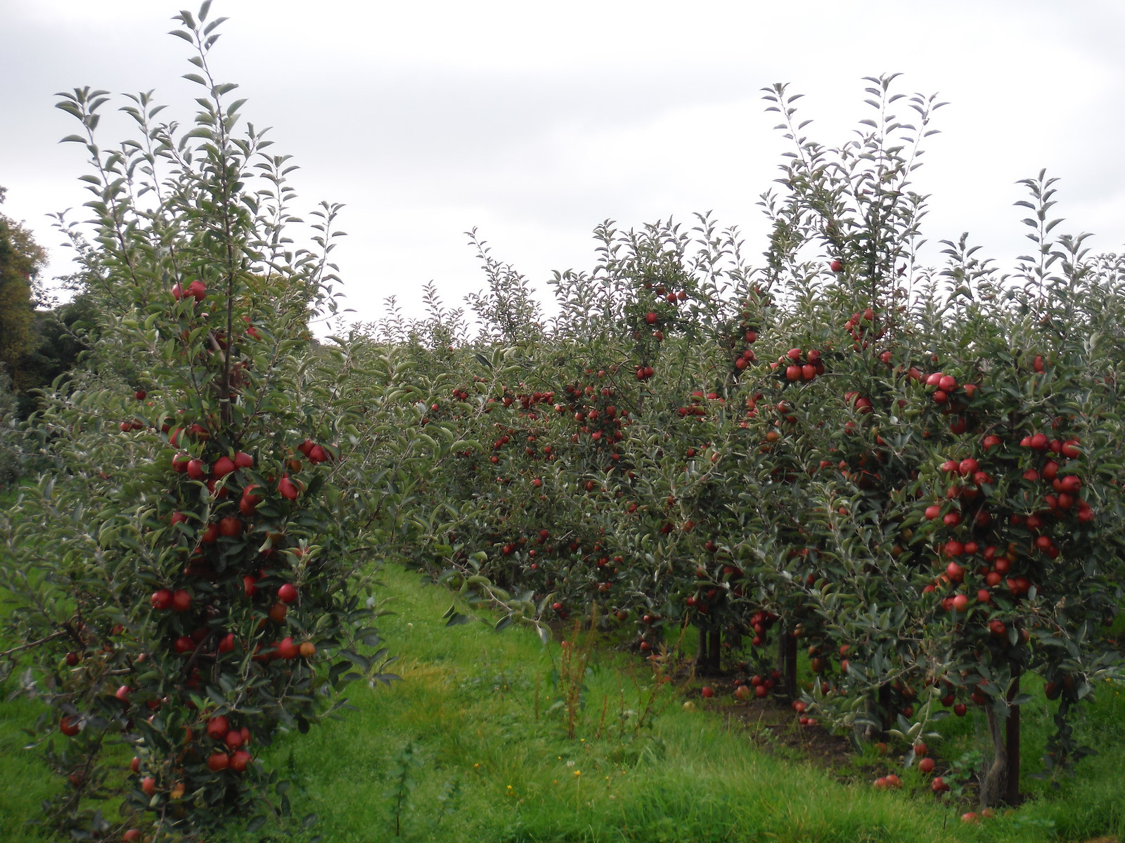 Apple Orchard, Bogle SWC Walk 299 - Teynham to Faversham