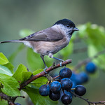 AUTUMN IS COMING, Marsh tit on sloe berries