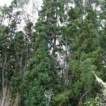 Cunninghamia lanceolata trees