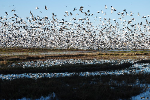 Waterfowl in the Delta