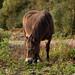 Exmoor pony | Weald Walk-21