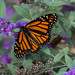Monarch Butterfly, Sourlands