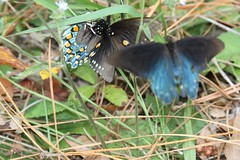 Spider attacks mating pair of Pipevine Swallowtails
