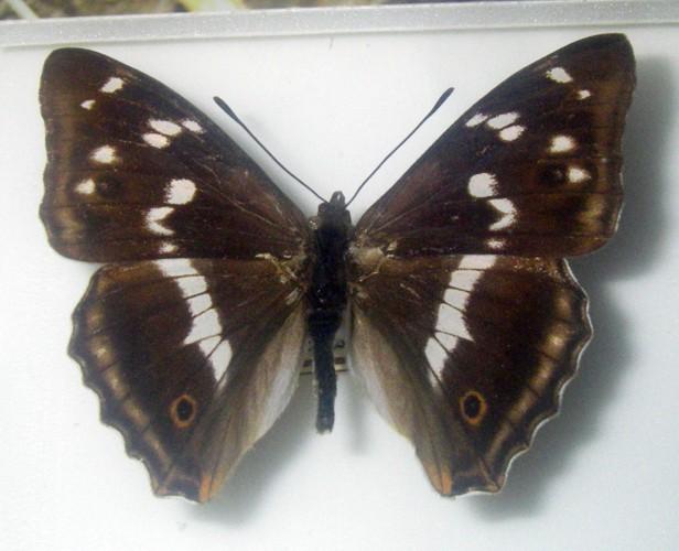 Apatura iris 37528641811_1543d7bdb0_o