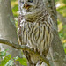Luis Ocasio has added a photo to the pool:Barred Owl nictitating membrane