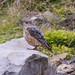 Common Rock Thrush (Monticola saxatilis)