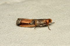 Dasypyga alternosquamella - Hodges # 5730