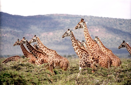 Giraffes. From Africa Overland Tours: What You Need to Know