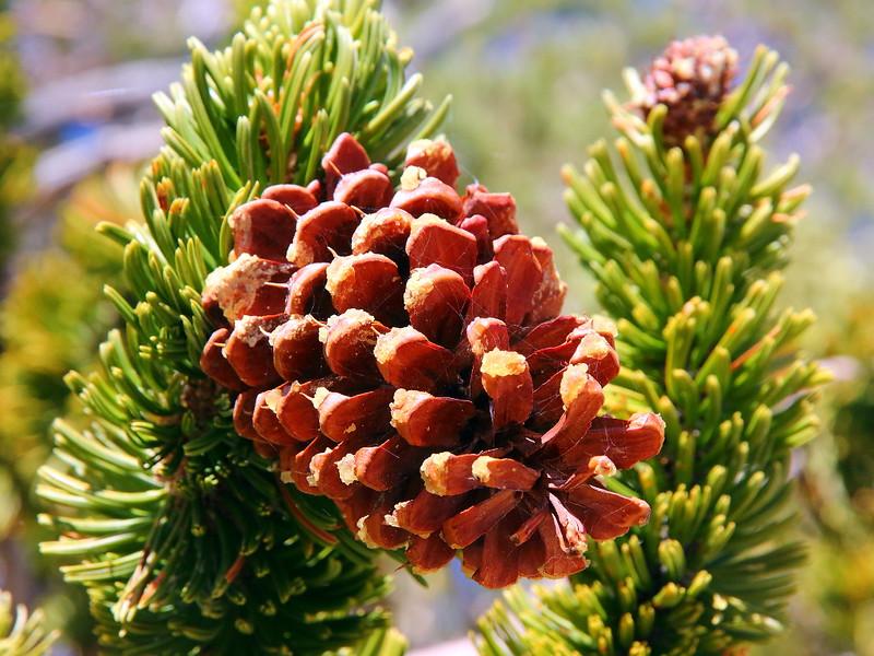 IMG_8112 Great Basin Bristlecone Pine Cone