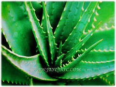 Captivating 0.9 m long leaves of Aloe vera (Chinese/Indian Aloe, True Aloe, Barbados Aloe, Burn/Medicinal Aloe, First Aid Plant), 2 Nov 2017