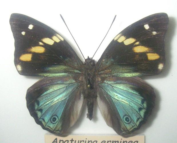 Apaturina erminea 23693065468_8b1601b405_o