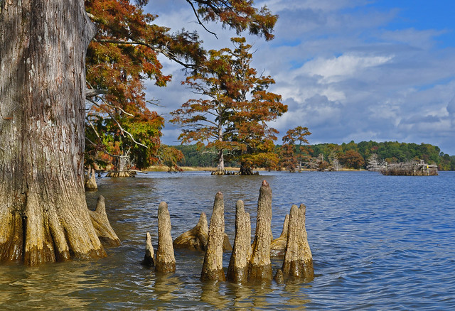 Chickahominy River  with Taxodium distichum (Bald Cypress) 10-7-17 (17)