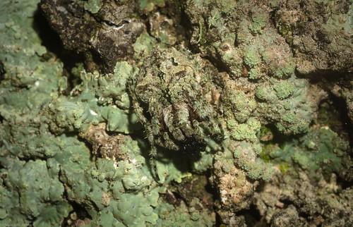'Eriophora' pustulosa?