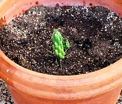 """20171015  Newly Planted Cactus Branch """"Eve's pin"""""""