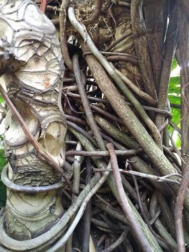 Banyan fig trunk