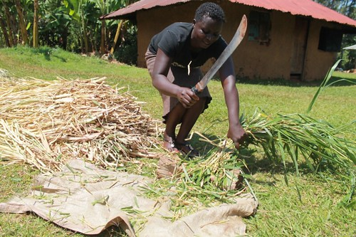 VBDA Lillian Ochieng from Usaha village, Gem Sub County in Siaya County chopping the fodder grass brachiaria into smaller pieces to minimize waste