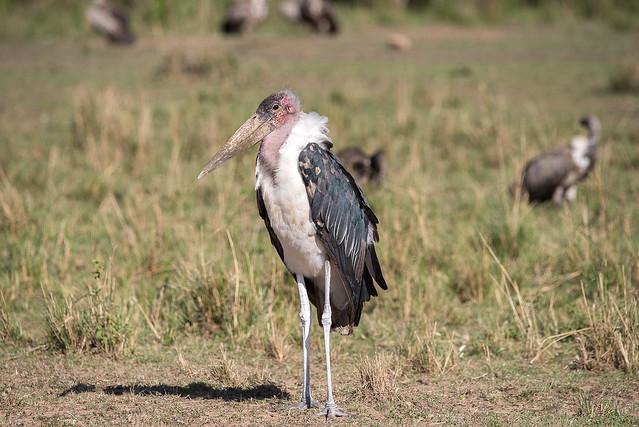 African Safari. Marabou Stork.