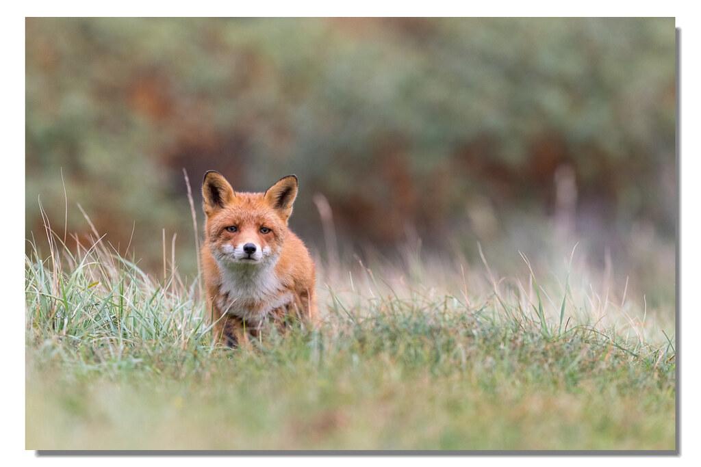 Füchse würden Nikon kaufen!!!