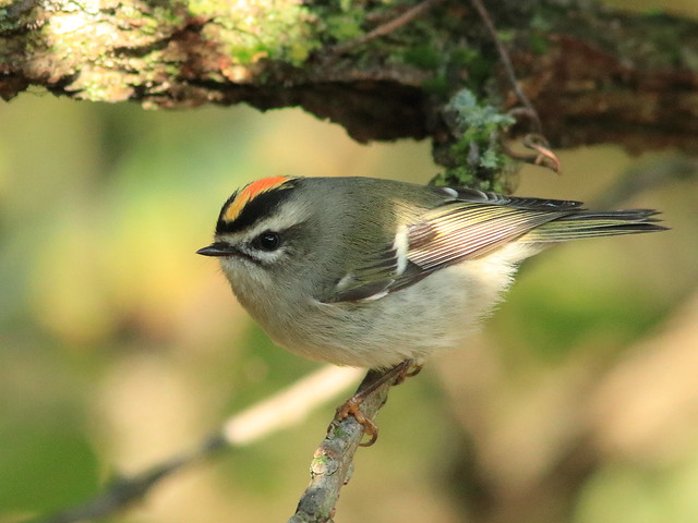 Golden-crowned Kinglet male 06-20171008