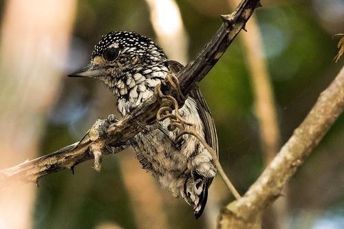Pantanal: White-wedged Piculet
