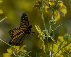 MonarchButterfly_SAF1368