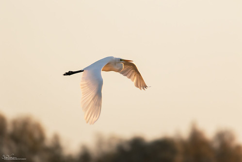 Early Morning Great White Egret