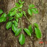 Bischofia javanica leaf and bark