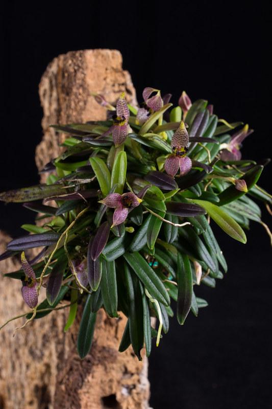Miniatur-Orchideen Teil 4 - Seite 5 37329578194_b9454d4b89_c
