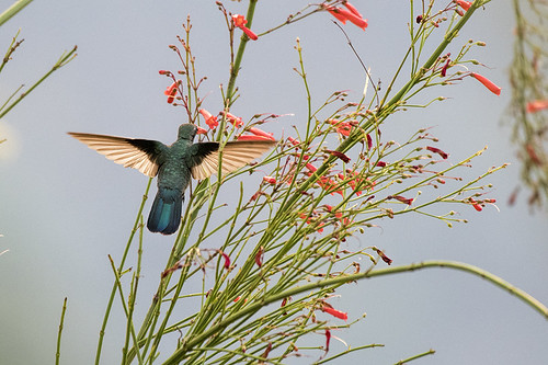 Chapada: Hummer by Pool 1 - White-vented Violetear