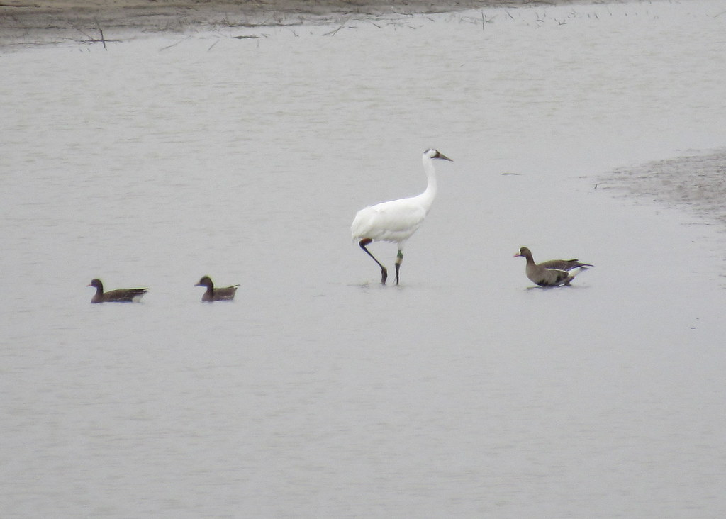 Whooping Crane #2