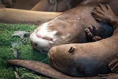 Sleeping Giant Otters