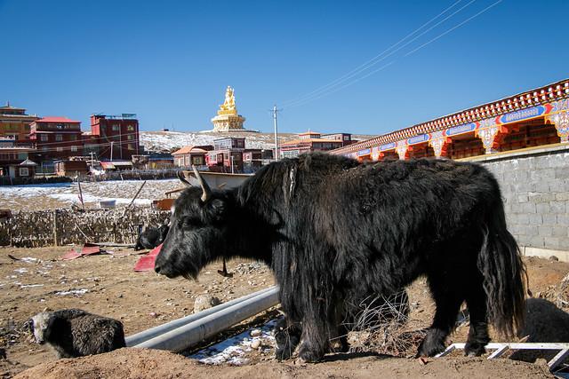 A yak and a sheep in Yarchen Gar アチェンガルゴンパで見かけたヤクと羊