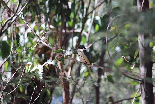 Sacred kingfisher, Wandong Regional Park