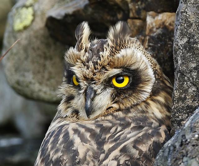 SHORT-EARED OWL (PORTRAIT)