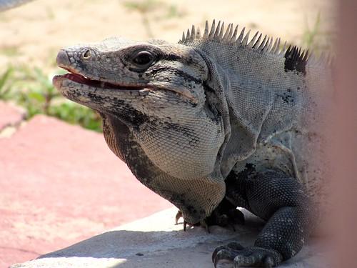 Biggest iguana