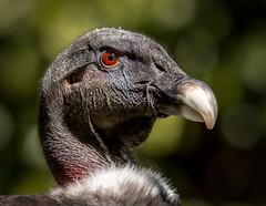 Andean Condor Portrait